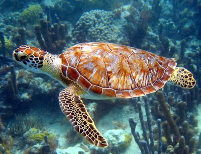 Green turtles are often seen at the Bright Reef on Providenciales, Turks and Caicos