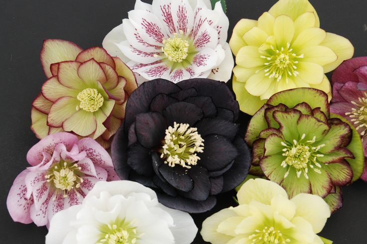 Luv these Helleborus-Fluffy-Ruffles-Great for the shade!: Double Flowers, Fluffy Ruffles, Deer Resistance, Deer Proof, Shades Plants, Shades Perennials, Shades Gardens, Gardens Plants, Helleborus Fluffy