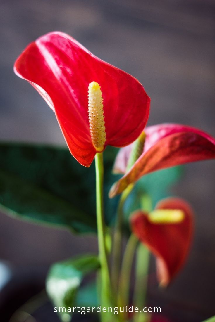 Anthurium Bloom Blooming Care Fix Flamingo Flower Houseplant Isnt Plant Thriving Tips Ways Housep House Plant Care Anthurium Anthurium Flower