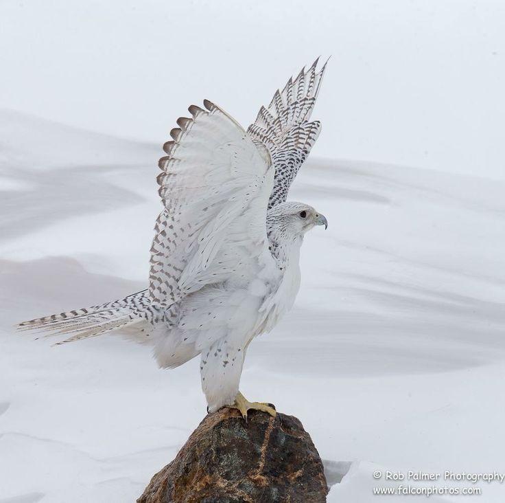 Gyrfalcon (Falco rusticolus) - el halcón más grande del mundo,