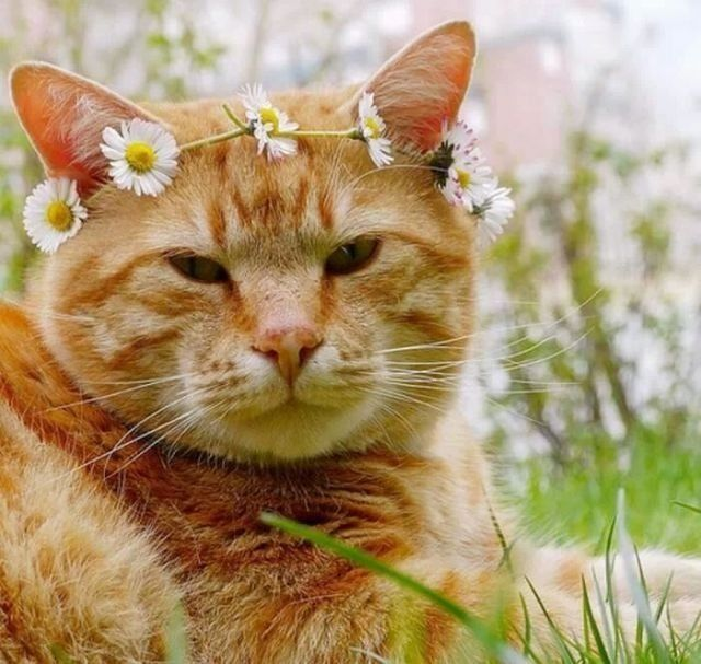 Daisy Crown - looks just like my cat, Sunny Crockett ...