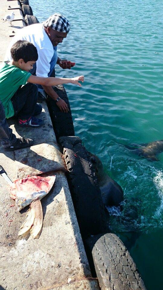 Hout Bay feeding seals