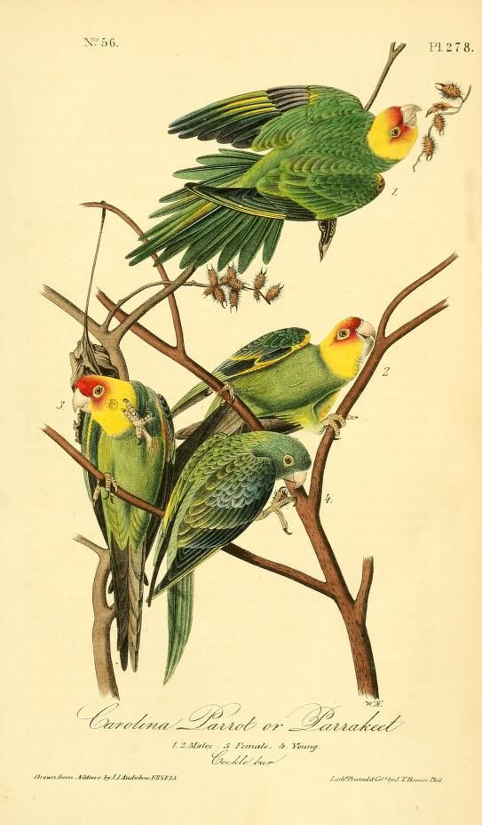 Carolina Parakeet. The birds of America : from drawings made in the United States and their territories v.4. New York :J.B. Chevalier,1840-1844. biodiversitylibrary. Biodiversitylibrary. Biodivlibrary. BHL. Biodiversity Heritage Library