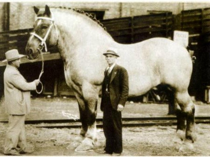 """Belgian draft horse """"Brooklyn Supreme"""" of the 1930s stood  19.2 hands high and weighed 3,200 pounds. """"Brookie"""" wore a 40-inch collar and boasted a girth measurement of 10 feet, 2 inches around. It took 30 inches of iron for each of his horseshoes. Foaled in 1928, he eventually became the property of C.G. Good of Iowa. Good's partner, Ralph Fogleman, exhibited the big horse around the country, charging spectators 10 cents apiece. Brookie died in 1948."""