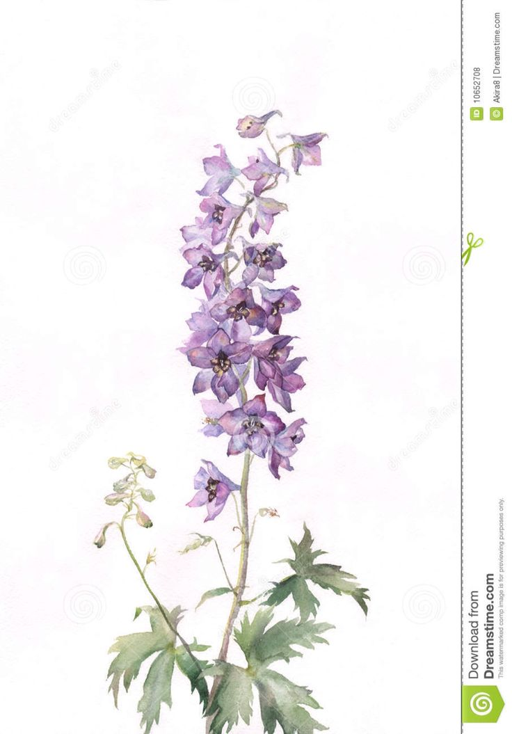 Watercolor larkspur flower