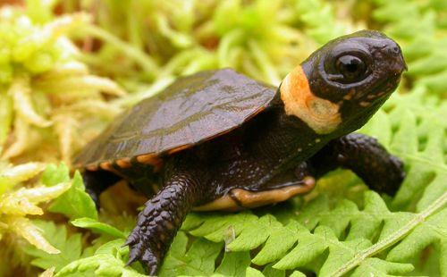Bog Turtle                                                                                                                                                                                 More