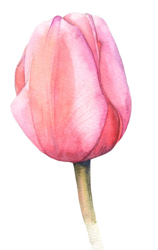 Watercolor tulips                                                                                                                                                      More