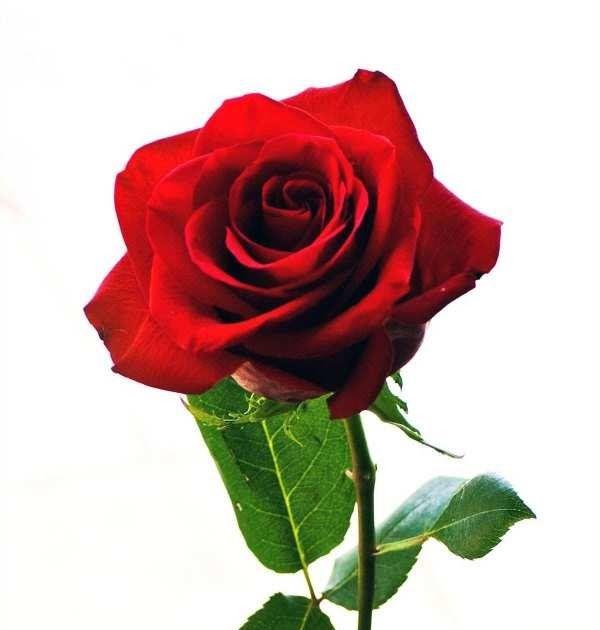 Terbaru 28 Gambar Kartun Bunga Mawar Cantik Di 2020 Mawar