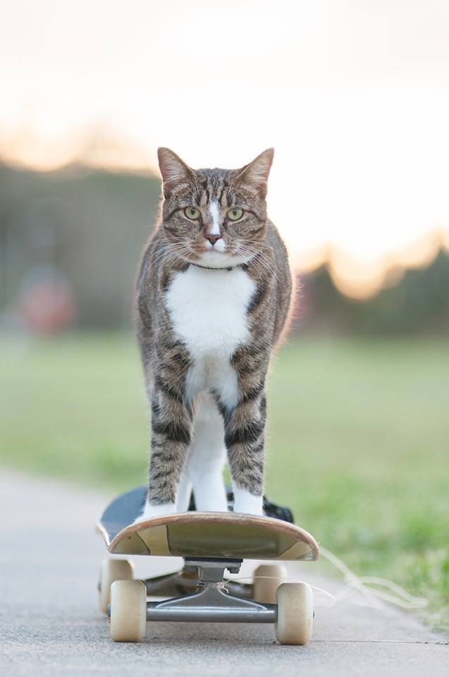 Didga the Cat Pulls Off Some Sick Tricks While Riding on a Remote-Controlled Skateboard Named Ollie. All my cat can do is lick his own balls