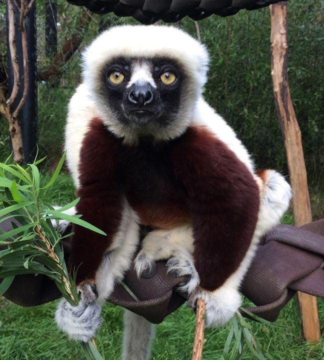 The Sacramento Zoo is saddened to report the death of Romulus, a 7-year-old male Coquerel's sifaka. Romulus was humanely euthanized at the Dr. Murray E. Fowler Veterinary Hospital on Tuesday, August 8 after a sudden illness progressed over the weekend, compromising his quality of life. A full necropsy will be performed at UC Davis.  Zookeepers reported symptoms of lethargy Saturday, August 5 at which time he received an emergency veterinary exam. Based on his symptoms, the exam and processes…
