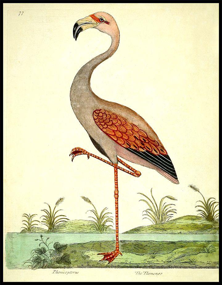 American Flamingo Audubon Flamingo Print Giclee Reproduction on Paper or Canvas