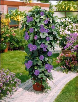 Ipomée à grandes fleurs : Période de plantation : De mars à mai Zone d'exposition : semi-ombre - ensoleillé