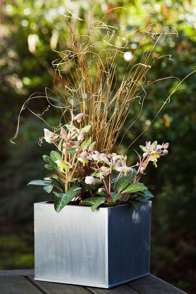Hellebore And Carex Pot Display. Winter PlantsGarden PotsGarden IdeasPlant  PotsContainer ...