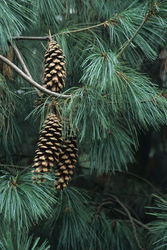 Pinus wallichiana - Bhutan, Himalayan white pine