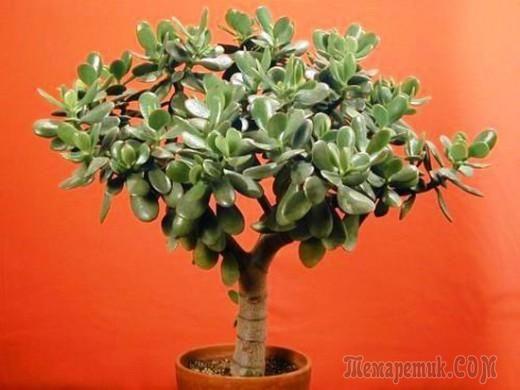 У многих из нас есть денежное дерево — «крассула», или «толстянка», иногда его также называют «деревом счастья», но далеко не всегда оно вырастает красивым. Из-за ошибок в уходе растение тянется вверх...