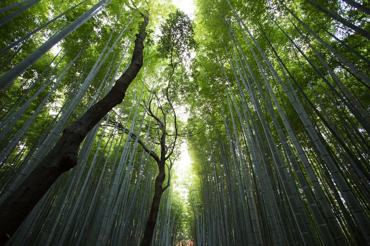 The Chinese Bamboo Tree.