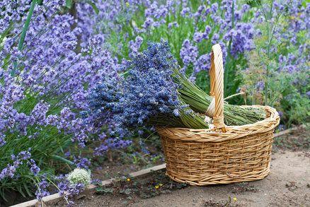 Ať už máte na balkoně květináč s jednou rostlinou nebo vaši zahrádku zdobí hned několik keříků, určitě chcete, aby levandule měla krásný tvar a byla celá obsypaná voňavými fialovými květy. To snadno ovlivníte správným řezem v ten pravý čas. Jak levanduli ostříhat a kdy, to se dozvíte v našem článku.