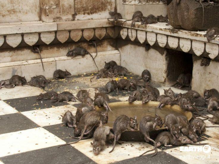 Il Tempio dei Topi di Deshnoke, Rajasthan, #India.