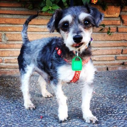 <3 HOPALONG!! <3 Yorkie X & Poodle • Senior • Male • Small. 10 yrs. Santa Cruz SPCA's adoption pkg for dogs & cats includes spay/neuter, vaccs, microchip/ registration, an ID tag, collar, coupons, free health exam, 30 days free pet health insurance & other animal care materials. Puppies under 1 yr $300, dogs over 1 yr $200 & senior dogs $150. If 6 yrs or more, they qualify for our Senior Pets For Senior People program. Neuter • Current on vaccs. Santa Cruz SPCA, CA.