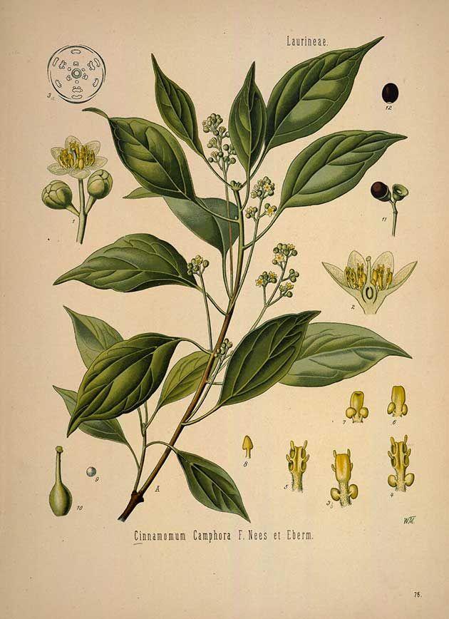 Cinnamomum Camphora F. Nees et Eberm., (Cinnamomum camphora (L.) J. Presl), Camphor tree - Medicinal Botanical Plants