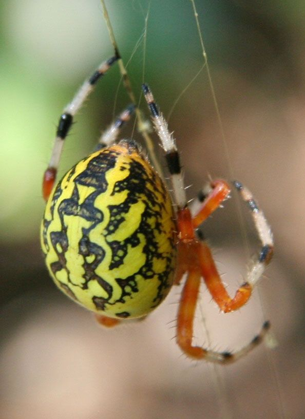 Google Image Result for http://www.insectidentification.org/imgs/insects/marbled-orb-weaver-spider_3.jpg