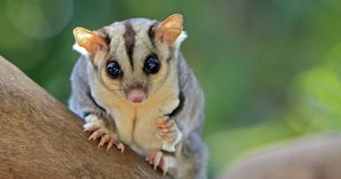 Sugar Glider - Sylvain Cordier/Stockbyte/Getty Images