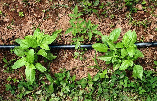 Semer et planter du basilic : quand et comment ?