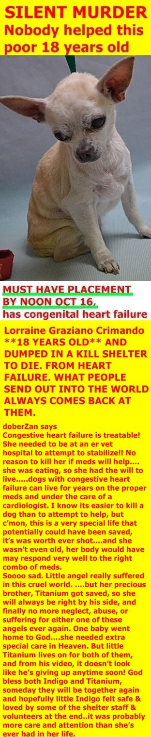 SILENT MURDER 10-17-2017 ---  Manhattan Center INDIGO – 9782  **MUST HAVE PLACEMENT BY NOON OCT 16, has congenital heart failure**  8y;  Tan Female 3lbs.  Intake: Stray 10/14/17  http://nycdogs.urgentpodr.org/indigo-9782/