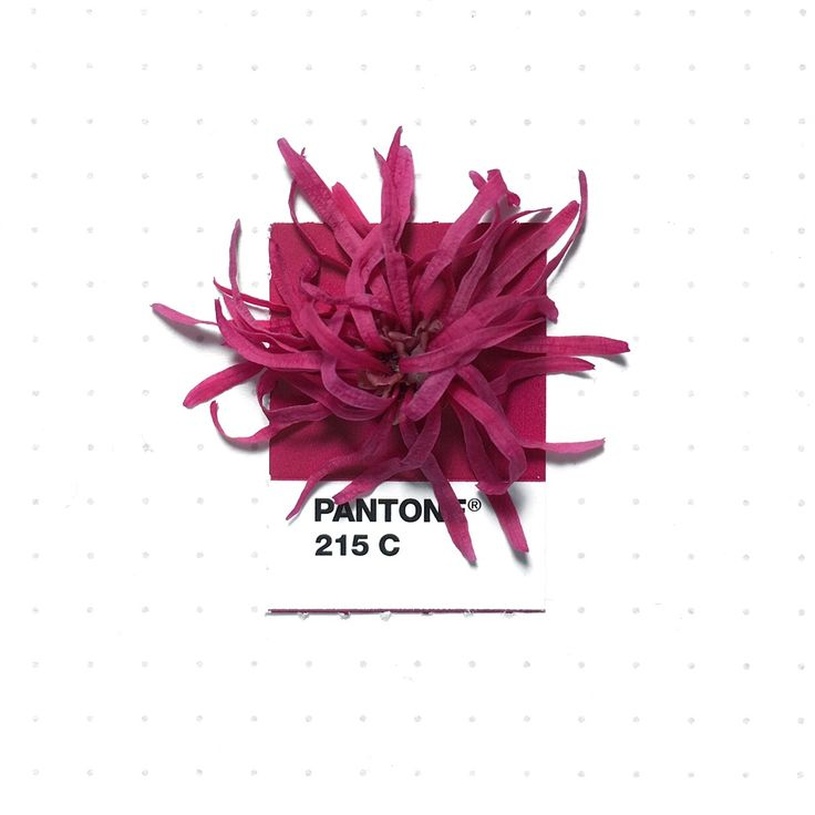 Pantone 215 color match. Chinese Fringe Flower (Loropetalum). The shrubs grow around my kids' school. I think it looks like a cheerleader pom-pom.