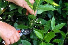 Le laurier sauce peut se présenter sous forme de haie, cône ou pyramide. Taillez cette plante aux feuilles condimentaire et faîtes des boutures.