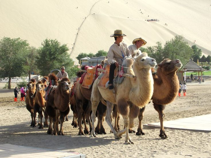 These Bactrian camels at the Mingsha Sand Dunes south of Dunhuang, Gansu, China, recall the Silk Road which passed here for over 1,500 years beginning in the 2nd century BC.