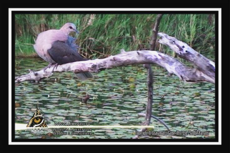 The Cape turtle dove