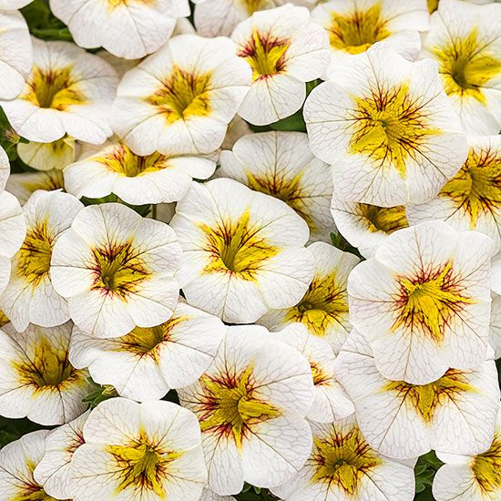 Calibrachoa Superbells Perfect for hanging baskets or window boxes, Superbells 'Frostfire' calibrachoa is smothered in white flowers with scarlet-and-yellow throats all summer long. The new introduction was bred to be heat-tolerant so it will keep on flowering even when the temperatures soar. Plus, plants are self cleaning, so there's no need to remove the faded flowers to keep plants looking tidy.'Frostfire'
