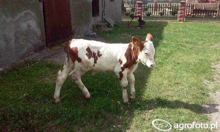 #rolnik #rolnictwo #gospodarstwo #byczek #krowa #zwierzeta