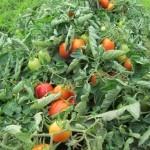 tomato prunotto