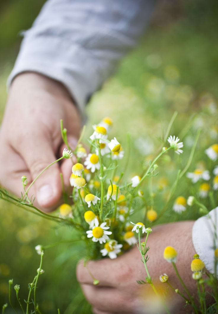 Chamomile is still harvested by hand on the Jurlique Farm. jurlique.com