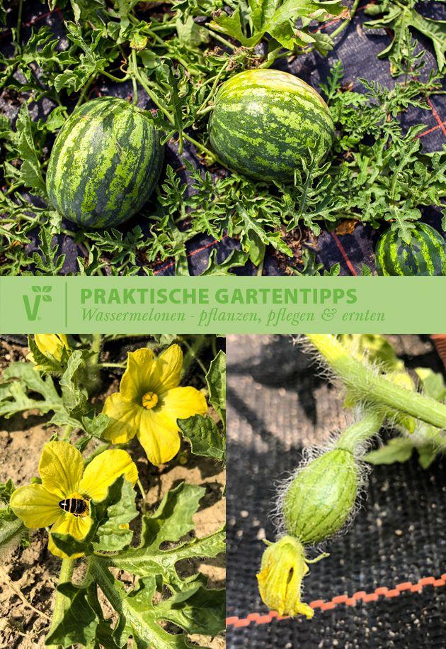 Beim Anbau Von Wassermelonen Gibt Es Einiges Zu Beachten Wie Viel Dunger Braucht Meine Melone Wie Schutz Wassermelone Pflanzen Melonen Pflanzen Wassermelone