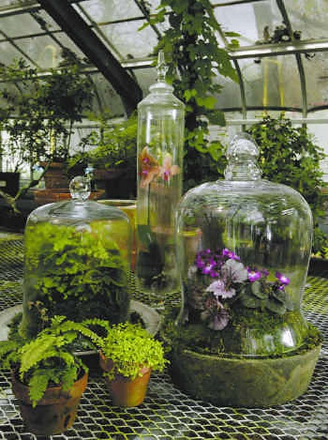 Gorgeous display of phalaeonopsis in the back & fern & african violet in the foreground. | #cloche #belljar #terrarium