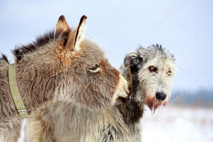Âne et le chien de l'irish wolfhound   Irish wolfhounds ...