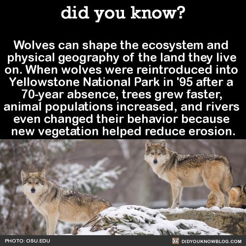 Wolves can shape the ecosystem and physical geography of the land they live on. When wolves were reintroduced into Yellowstone National Park in '95 after a 70-year absence, trees grew faster, animal populations increased, and rivers even changed...