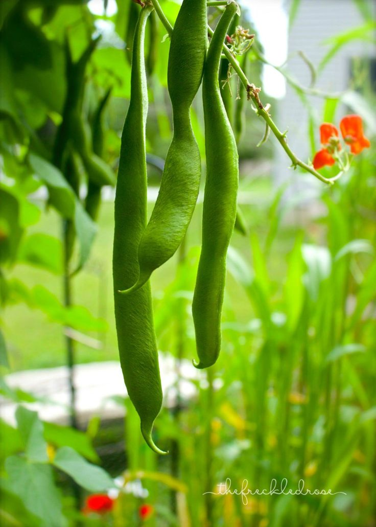 growing scarlet emperor beans  angie the freckled rose in