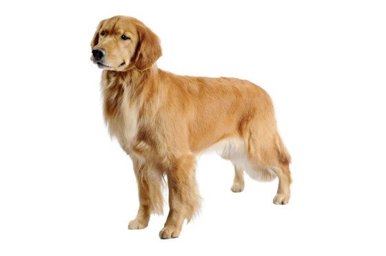 Bathing A Golden Retriever Is Relatively Easy Because They Like