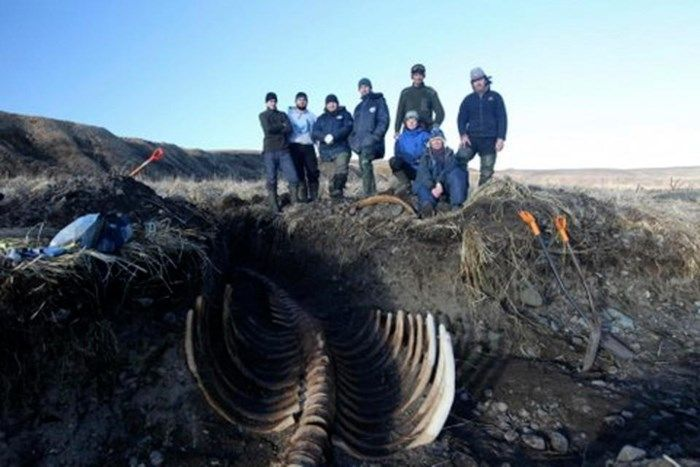 It may be lacking a head, but a skeleton found on a beach in Siberia is still one of the most complete of its kind. The massive bones unearthed on an isolated Bering island belong to an animal that's been extinct for nearly 250 years – the giant Steller's sea cow. And the skeleton's excellent