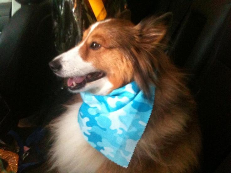 Harley Says: I have my seatbelt on, let's roll.: Harley, Shelti, Plays, Rolls, I'M