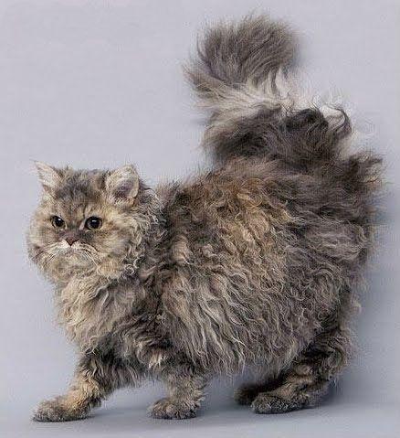 Beautiful Selkirk Rex kitty