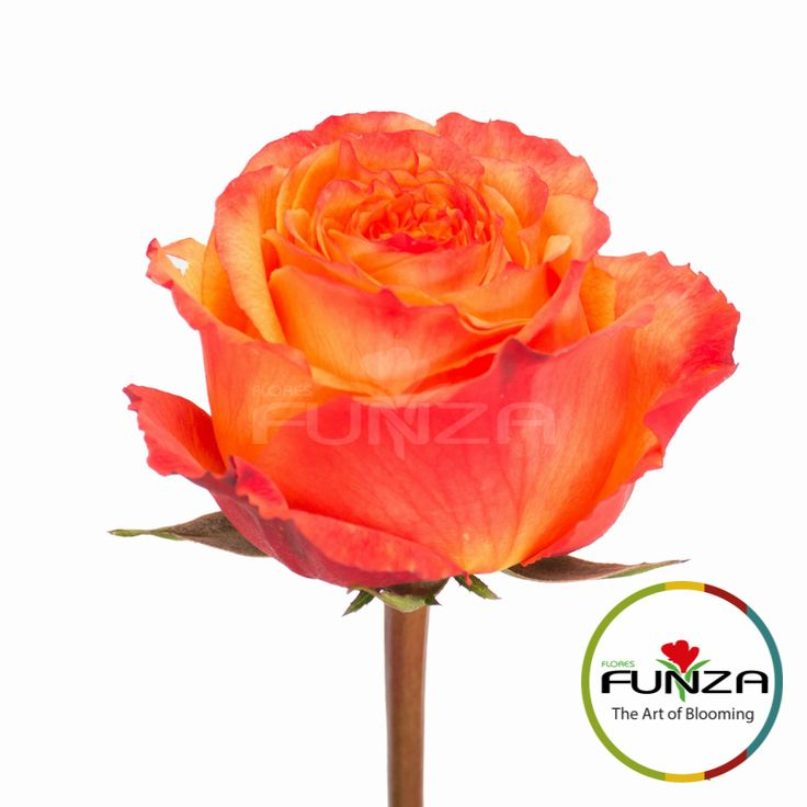 Orange Rose from Flores Funza. Variety: High and Intense, Availability: Year-round