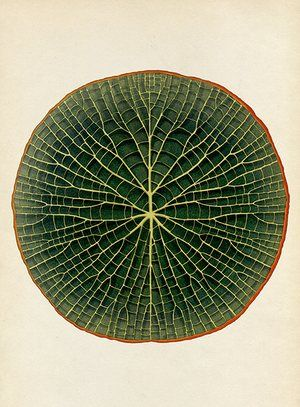 Botanicum - Giant Waterlily