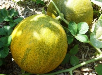 (+1) тема - Выращивание дыни и арбуза в умеренном климате | 6 соток