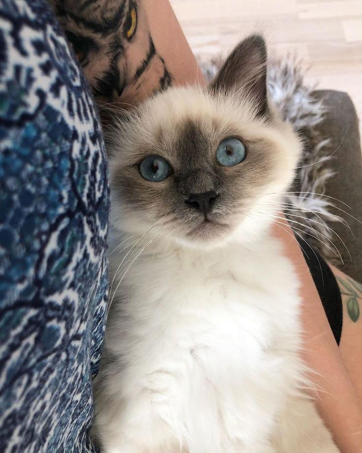 New Week New Me Almost I M 19 Weeks Old Tomorrow Sacredbirman Birm Birman Cats For Sale Birman Cat Kitten Love