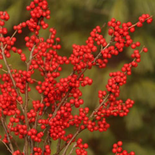 Winterberry holly is long-lasting and beautiful for holiday arranging. Though it is pricey at the florist, it is super easy to grow this shrub and have your own supply! Fall is a good time to plant shrubs. Proven Winners | Berry Nice® - Winterberry Holly - Ilex verticillata http://emfl.us/57Fd  @Proven_winners   #holly #holidaydecor